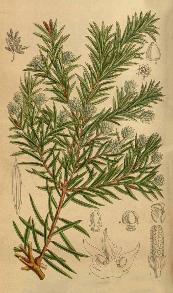 Саксеготея замечательная (Saxegothaea conspicua)