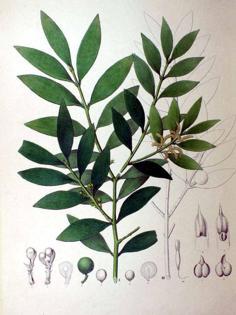Ногоплодник Наги (Podocarpus Nageia)
