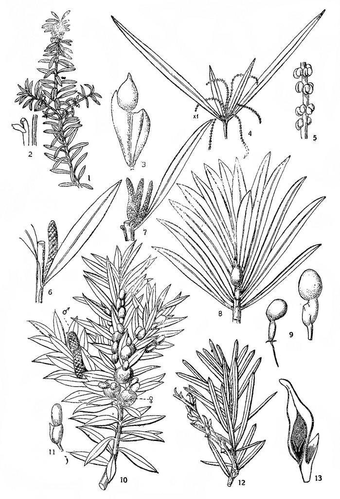 Ногоплодник чилийский (Podocarpus chilense)