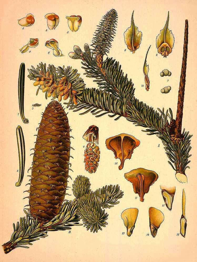 Пихта белая, европейская или гребенчатая (Abies alba)