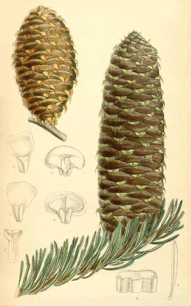 Пихта Нордманна или кавказская (Abies Nordmanniana)