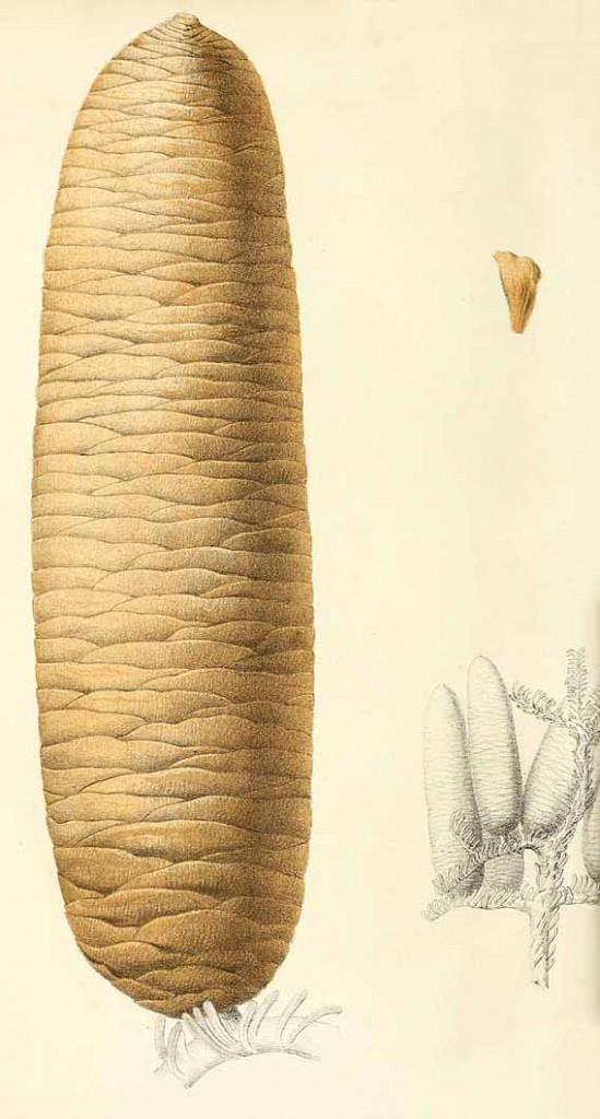 Пихта киликийская (Abies cilicica)