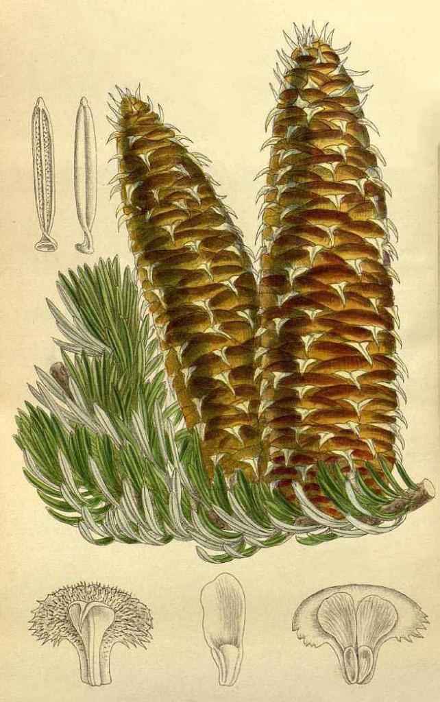 Пихта греческая (Abies cephalonica)