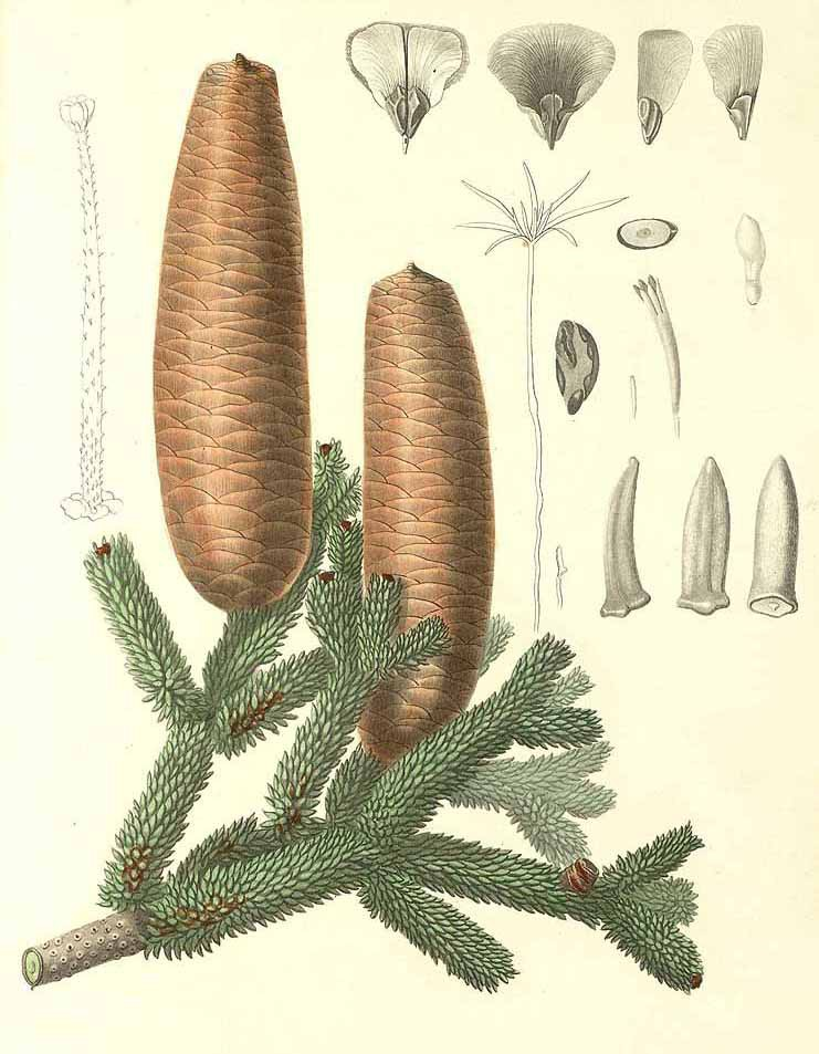 Пихта испанская (Abies pinsapo)