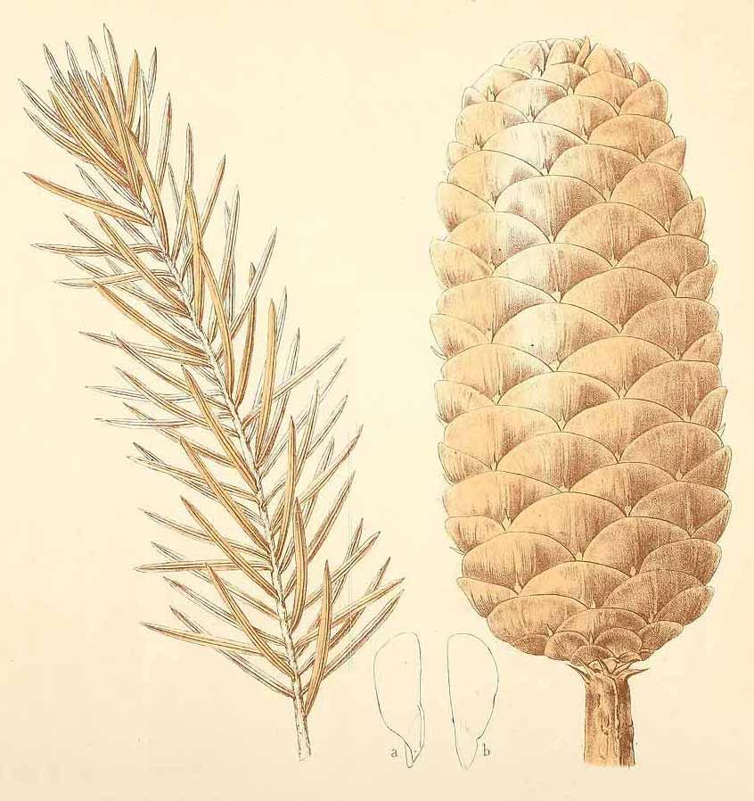 Кетелеерия Форчуна (Keteleeria fortunei)