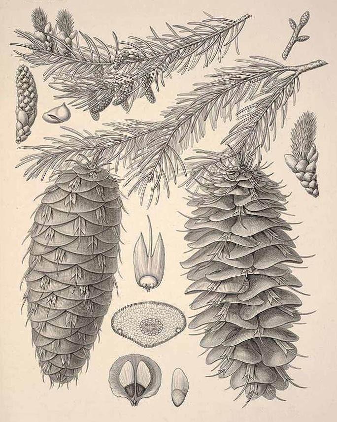 Лжетсуга крупношишечная (Pseudotsuga macrocarpa)
