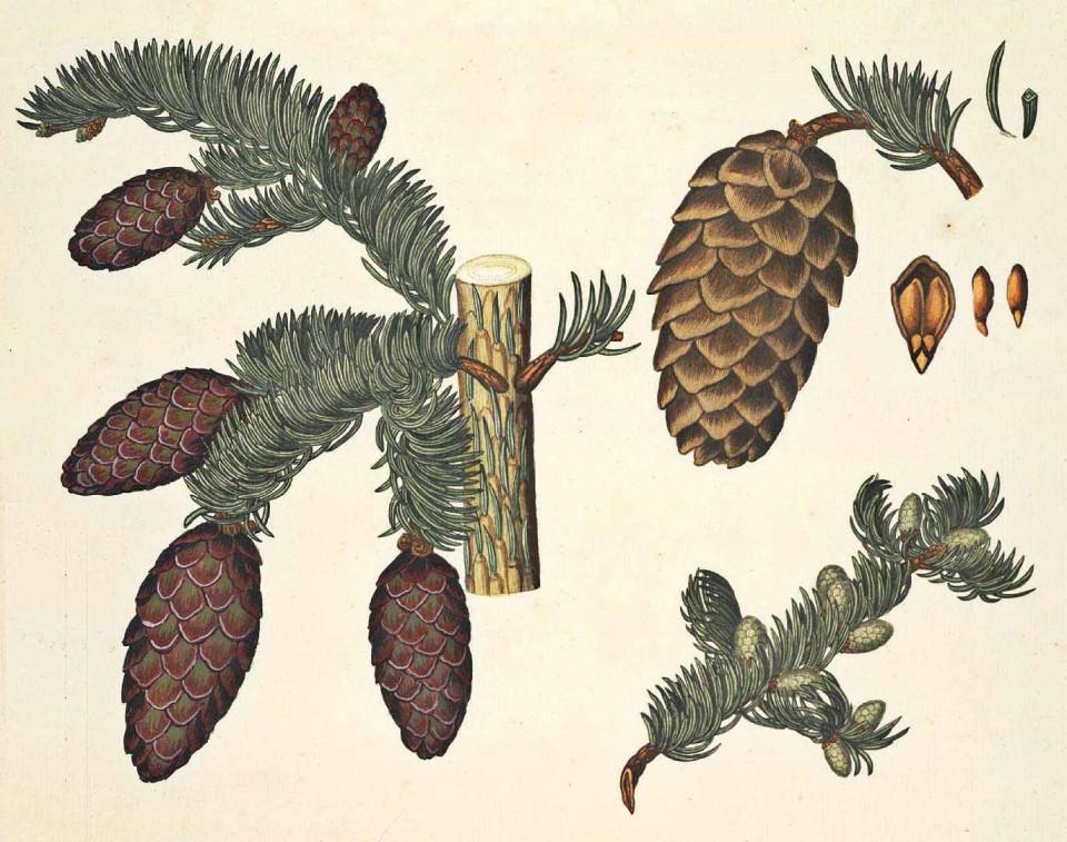 Ель обыкновенная или европейская (Picea excelsa)