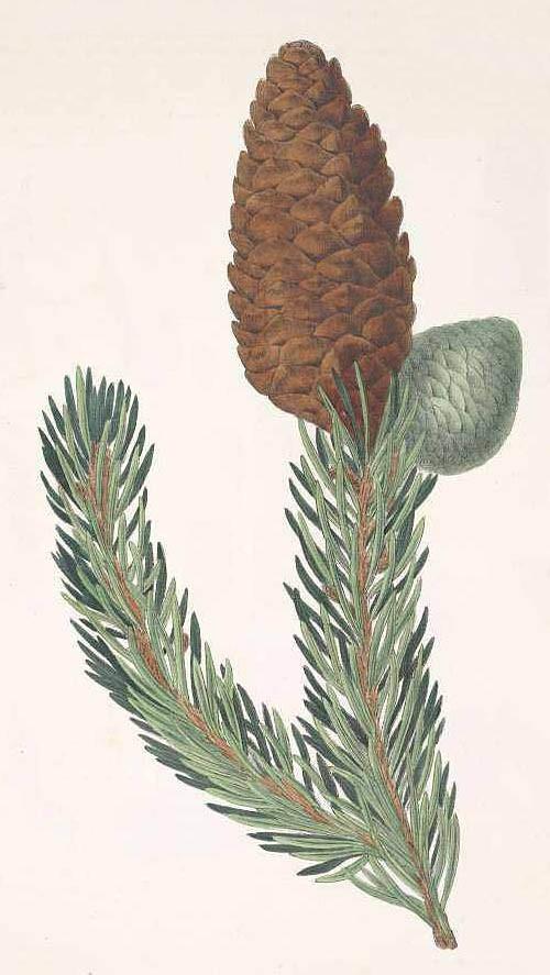 Ель гималайская или индийская (Picea morinda)