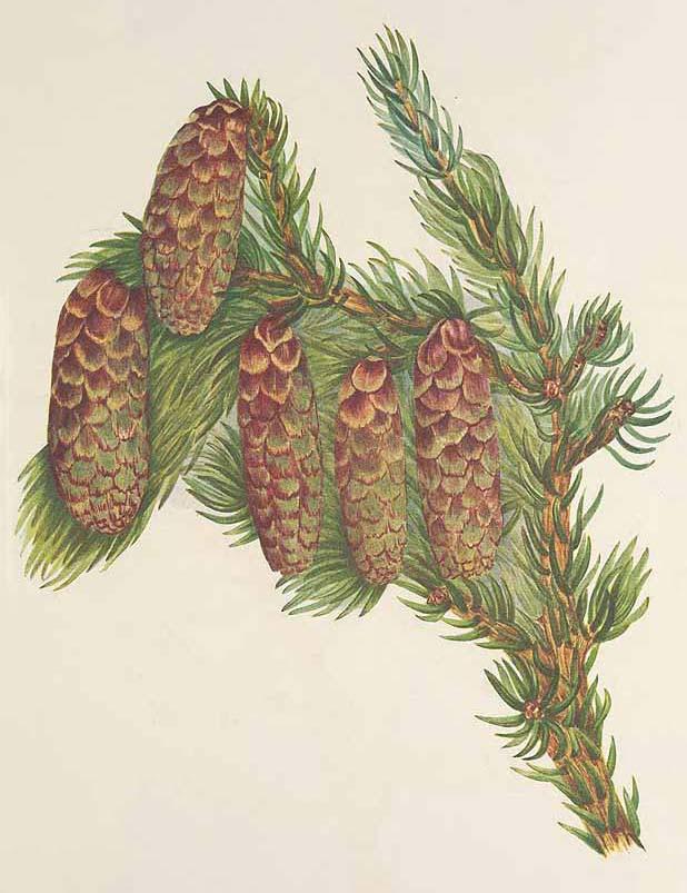 Ель Энгельмана (Picea Engelmanni)