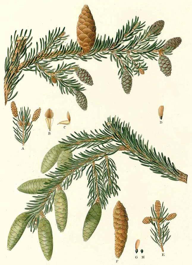 Ель чёрная (Picea mariana)