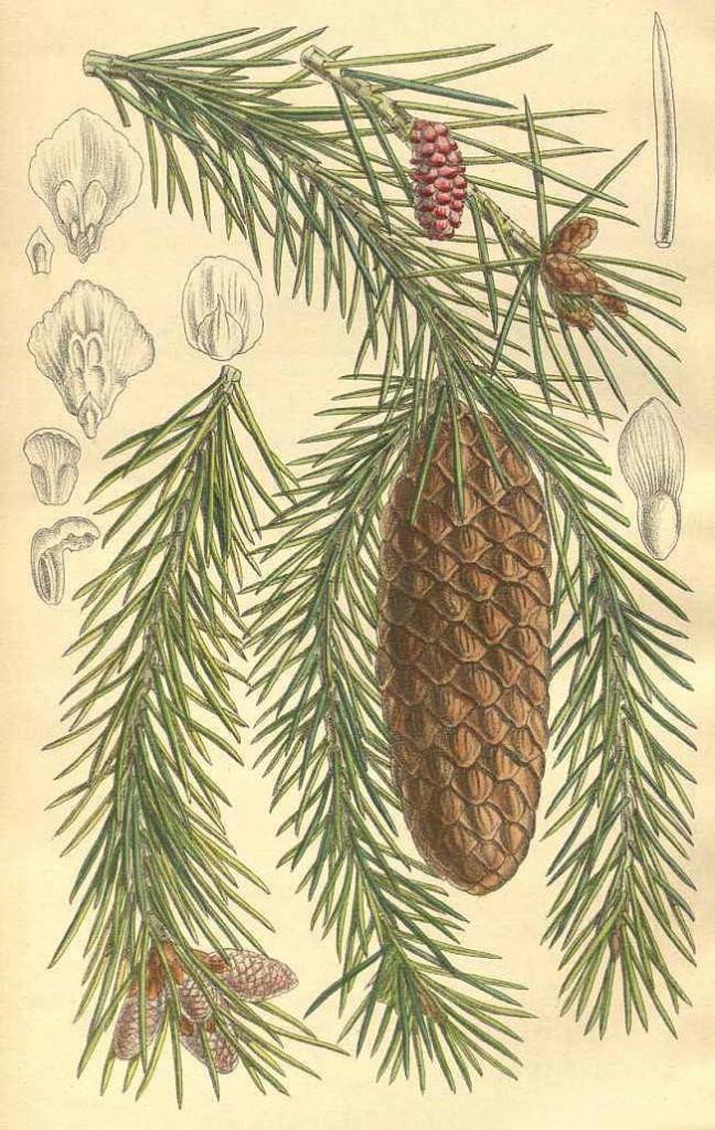 Ель шиповатая или восточно-гималайская (Picea spinulosa)