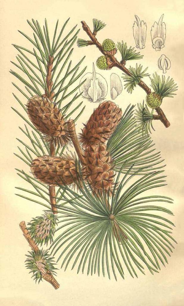 Лиственница западная (Larix occidentalis)