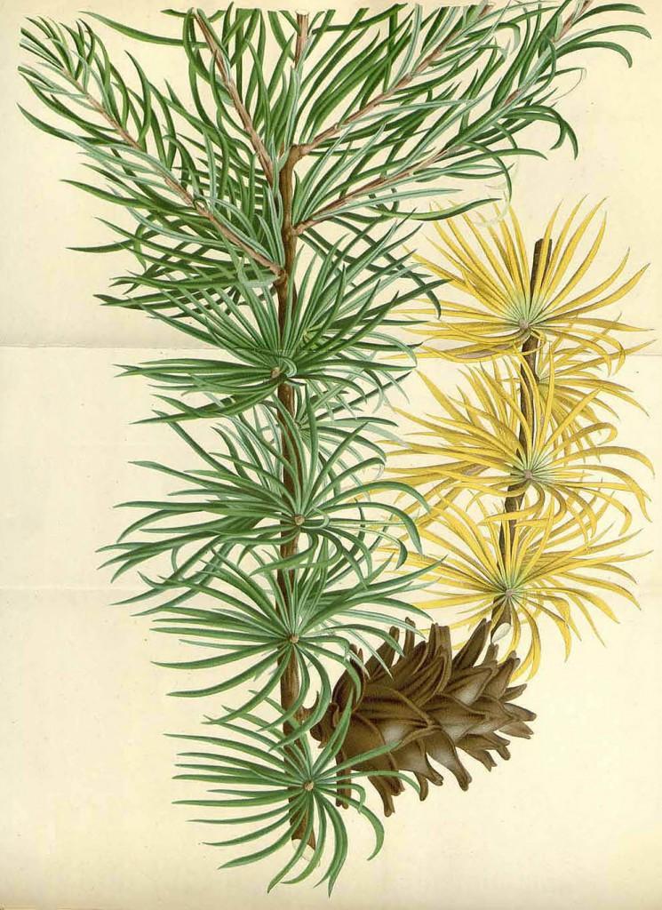 Лиственница тонкочешуйчатая или японская (Larix leptolepis)