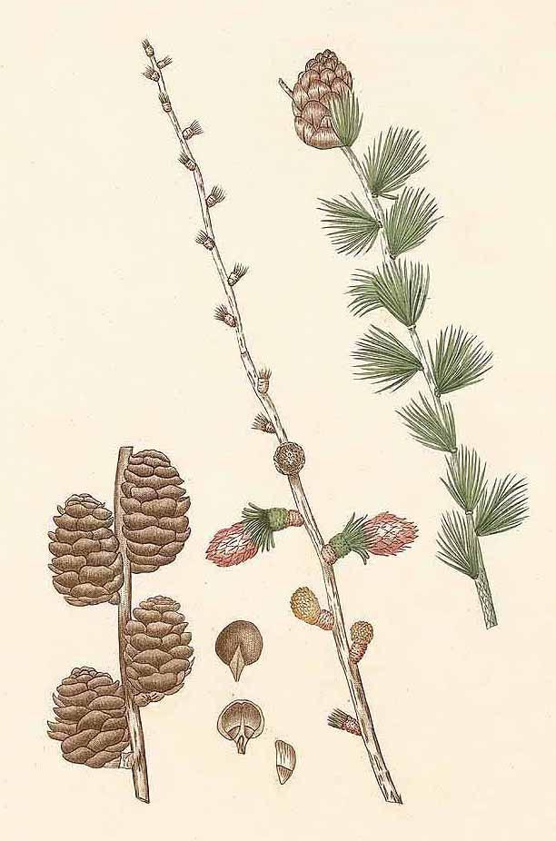 Лиственница опадающая или европейская (Larix decidua)