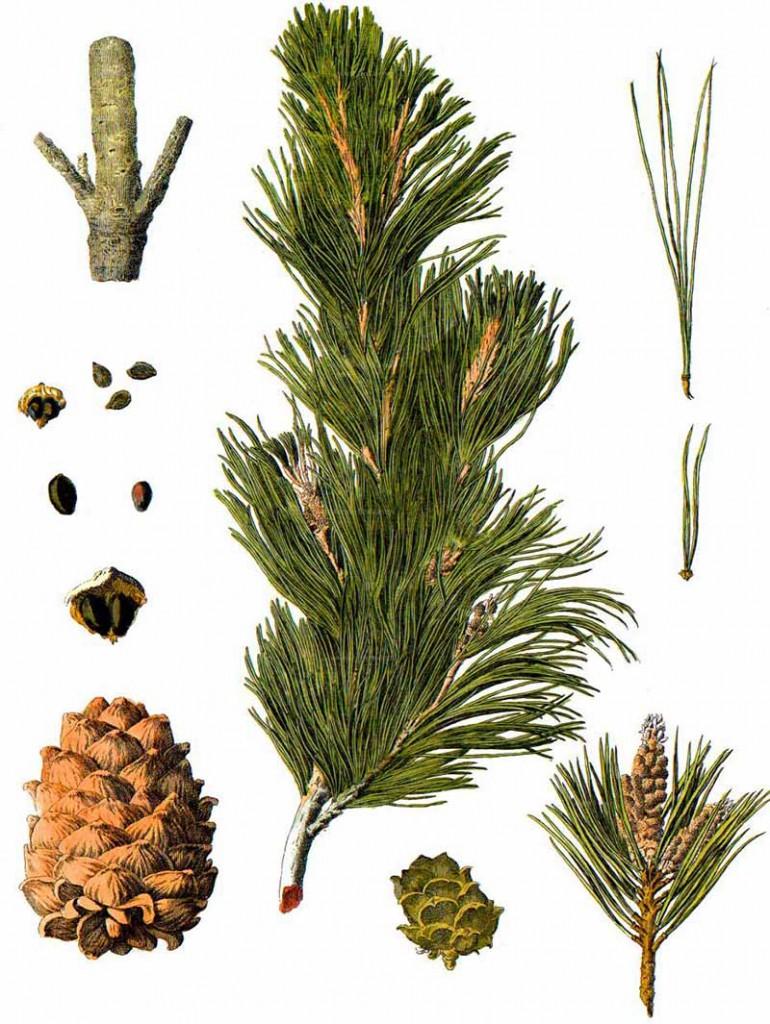 Сосна кедровая европейская, кедр европейский (Pinus cembra)