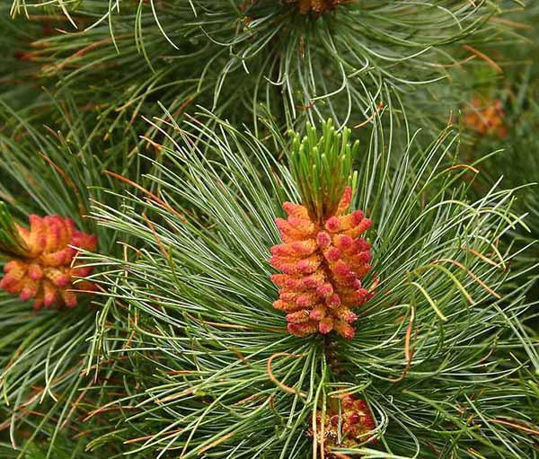 Кедровый стланик (Pinus pumila)