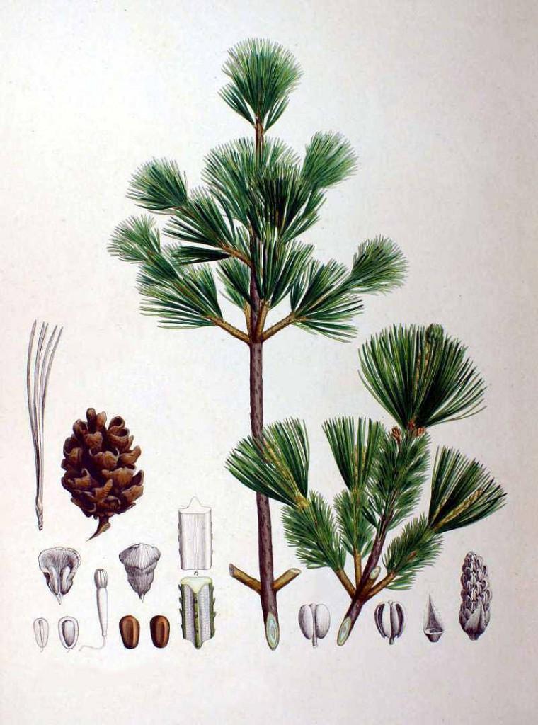 Сосна мелкоцветная (Pinus parviflora)