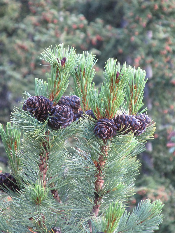 Сосна белоствольная (Pinus albicaulis)