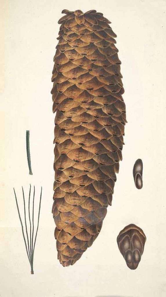 Сосна Ламберта или сахарная (Pinus Lambertiana)