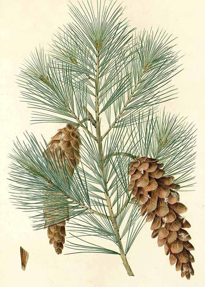 Сосна веймутова (Pinus strobus)