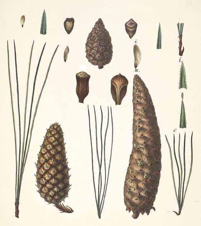 Сосна горная веймутова (Pinus monticola)