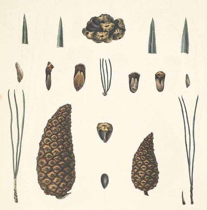 Сосна кедровидная (Pinus cembroides)