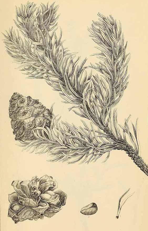 Сосна съедобная (Pinus edulis)