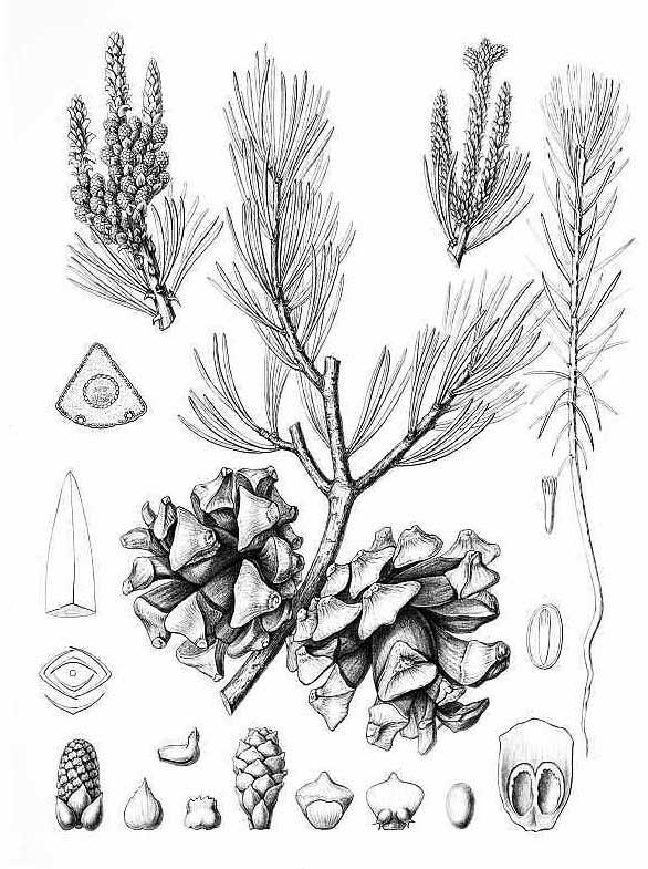 Сосна четырёххвойная (Pinus quadrifolia)