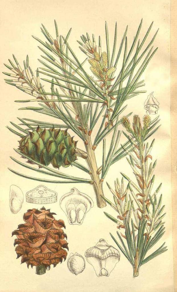 Сосна Бунге (Pinus Bungeana)