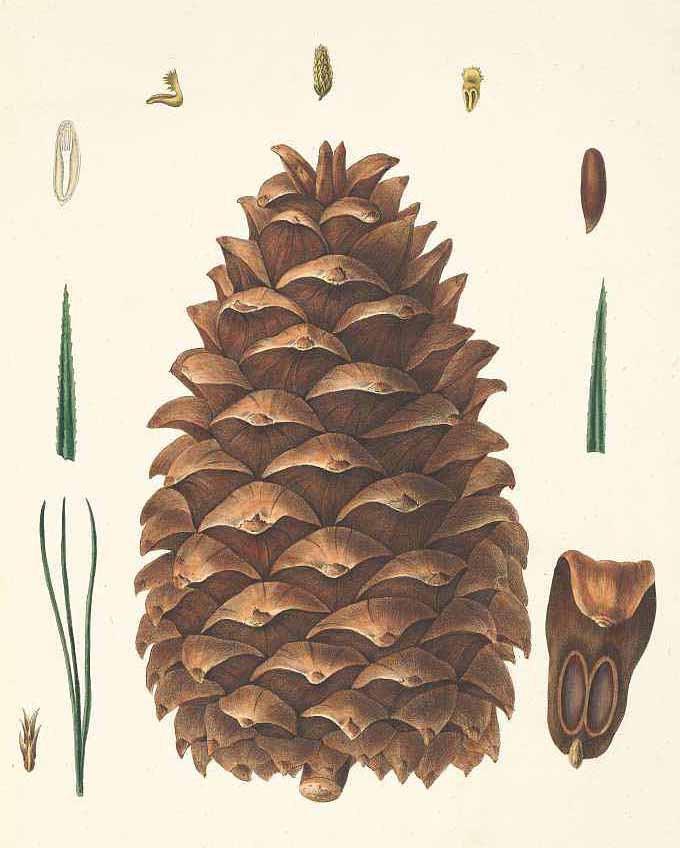Сосна Жерарда (Pinus Gerardiana)