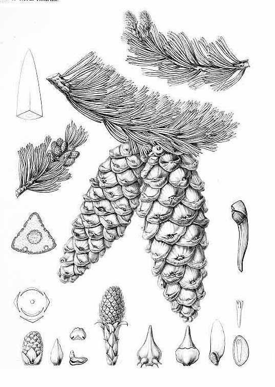 Сосна Бальфура (Pinus Balfouriana)