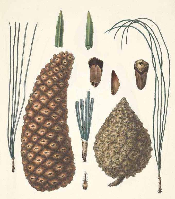 Сосна Монтезумы (Pinus Montezumae)