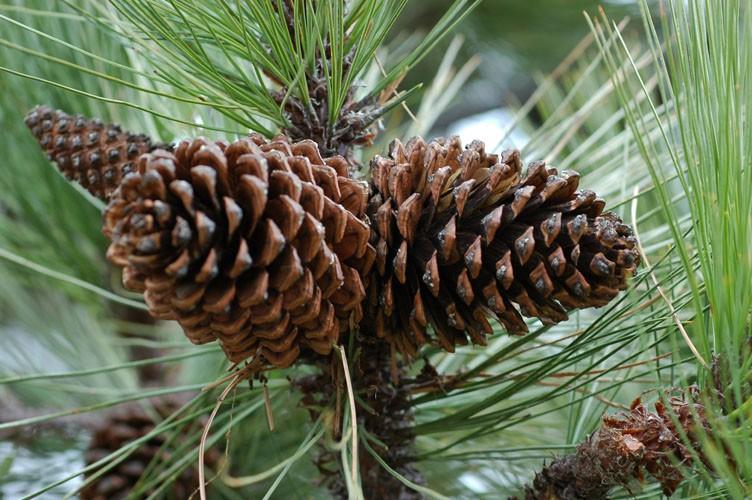Сосна Гартвега (Pinus Hartwegii)