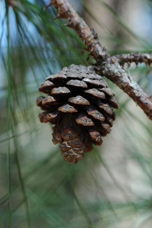 Сосна теокота (Pinus theocota)