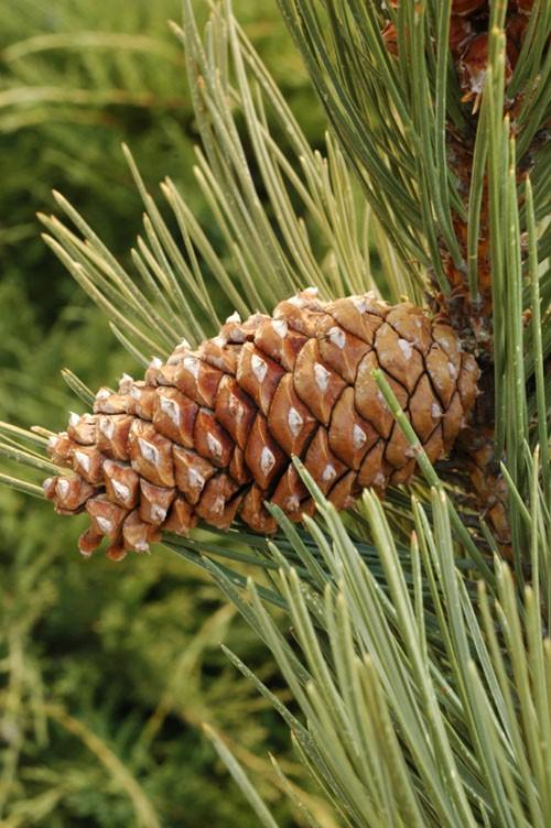 Сосна жёлтая горная (Pinus scopulorum)