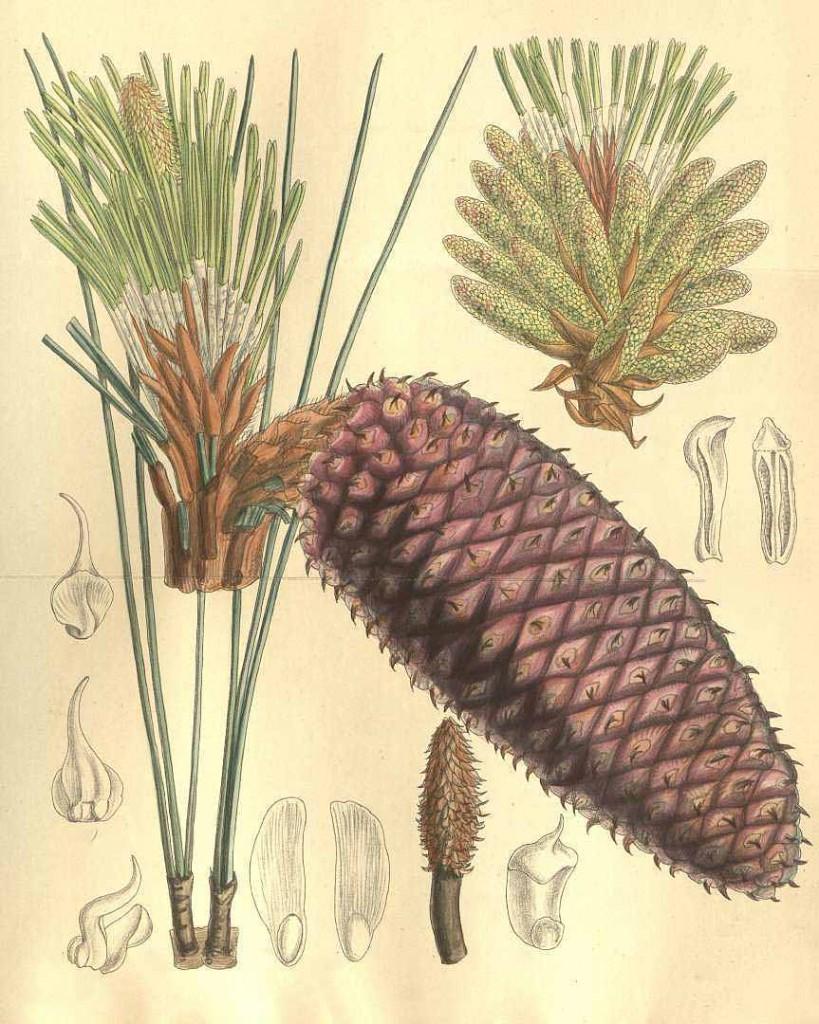 Сосна Жеффрея (Pinus Jeffreyi)