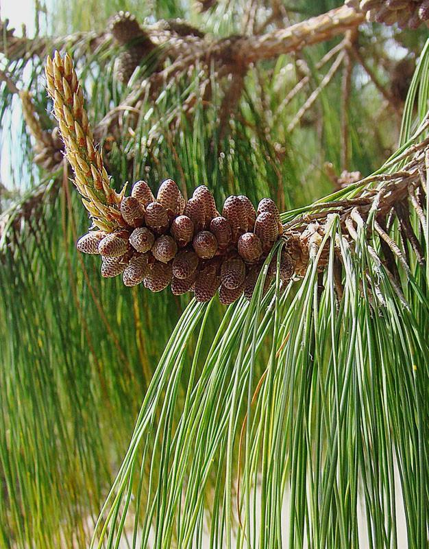 Сосна поникшая (Pinus patula)
