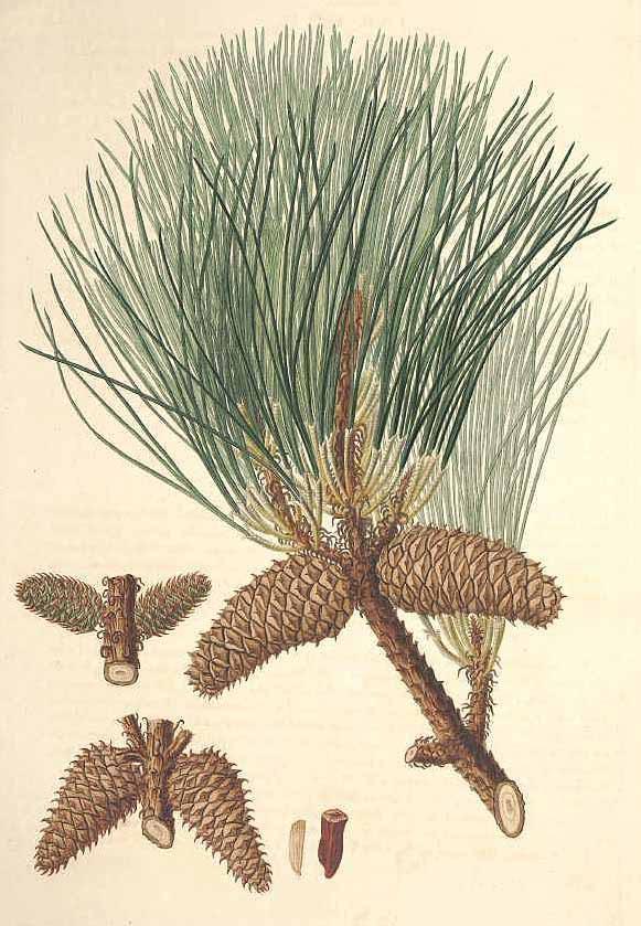 Сосна ладанная (Pinus taeda)
