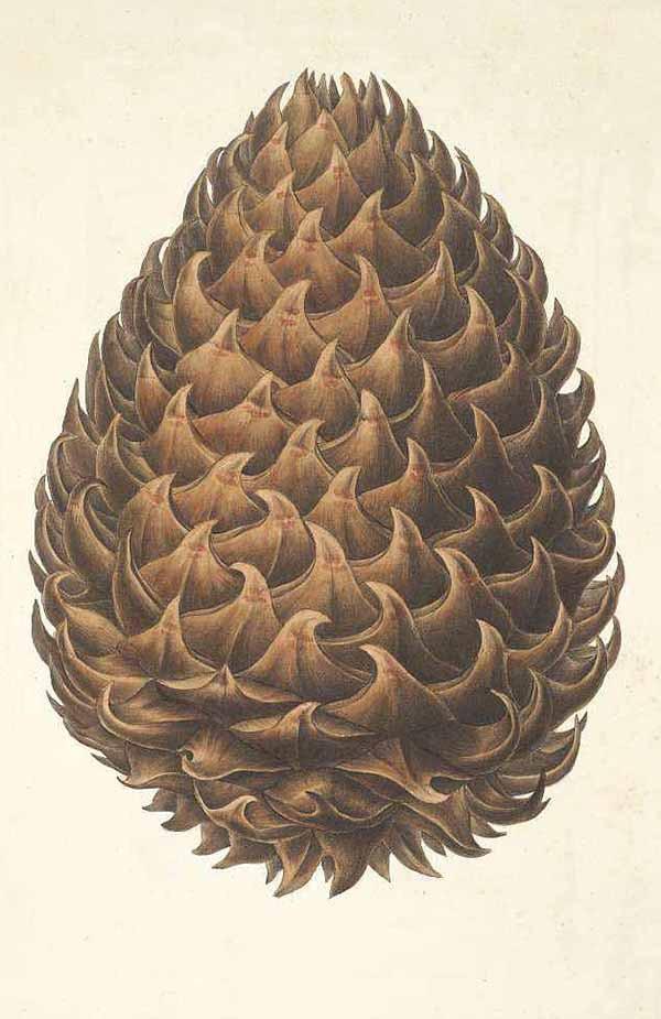 Сосна Сабина, белая калифорнийская сосна (Pinus Sabiniana)