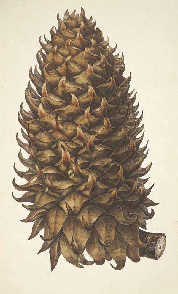 Сосна Культера (Pinus Coulteri)