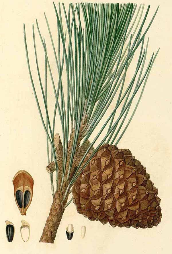 Сосна итальянская, пиния (Pinus pinea)
