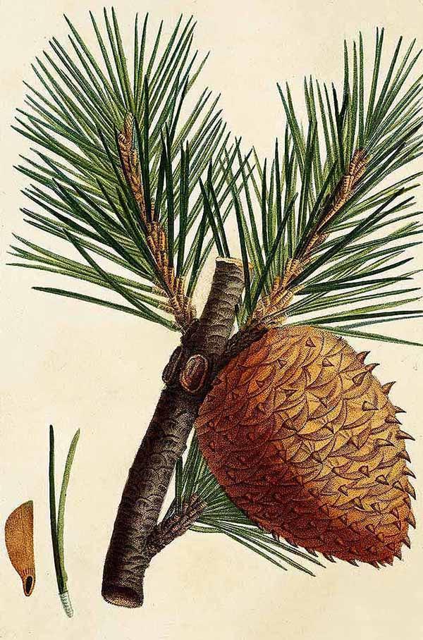Сосна колючая (Pinus pungens)
