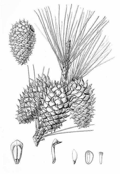Сосна мягкоигольчатая (Pinus muricata)
