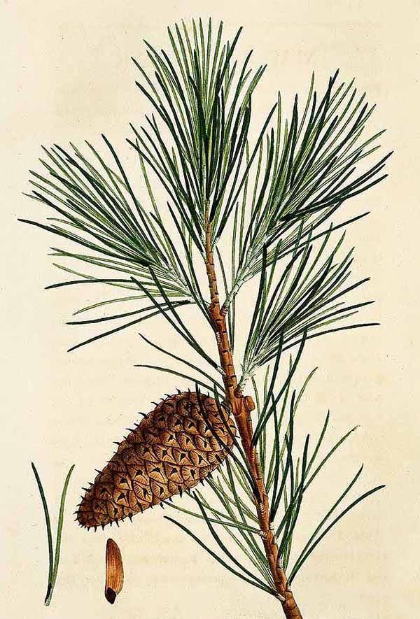Сосна виргинская (Pinus virginiana)