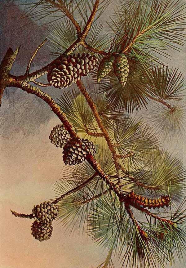 Сосна ежовая (Pinus echinata)