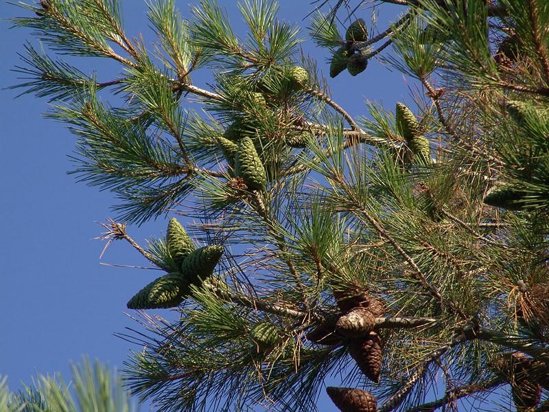 Сосна пицундская (Pinus pithyusa)