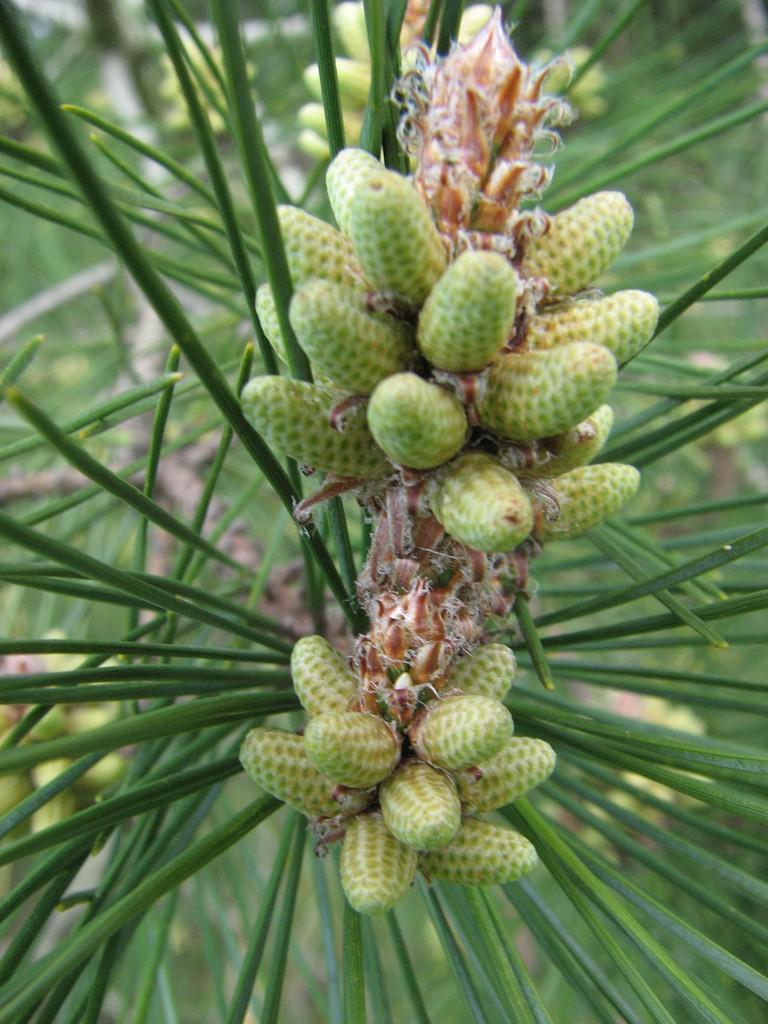Сосна калабрийская (Pinus bruttia)