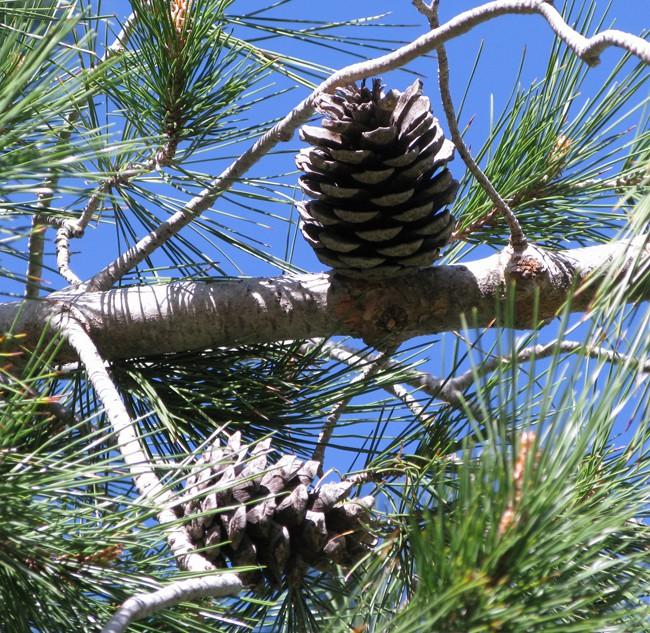 Сосна эльдарская (Pinus eldarica)