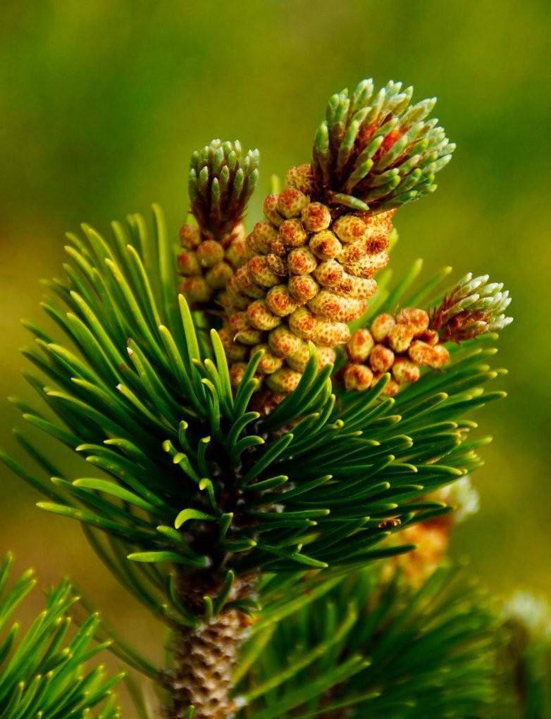 Сосна горная (Pinus montana)
