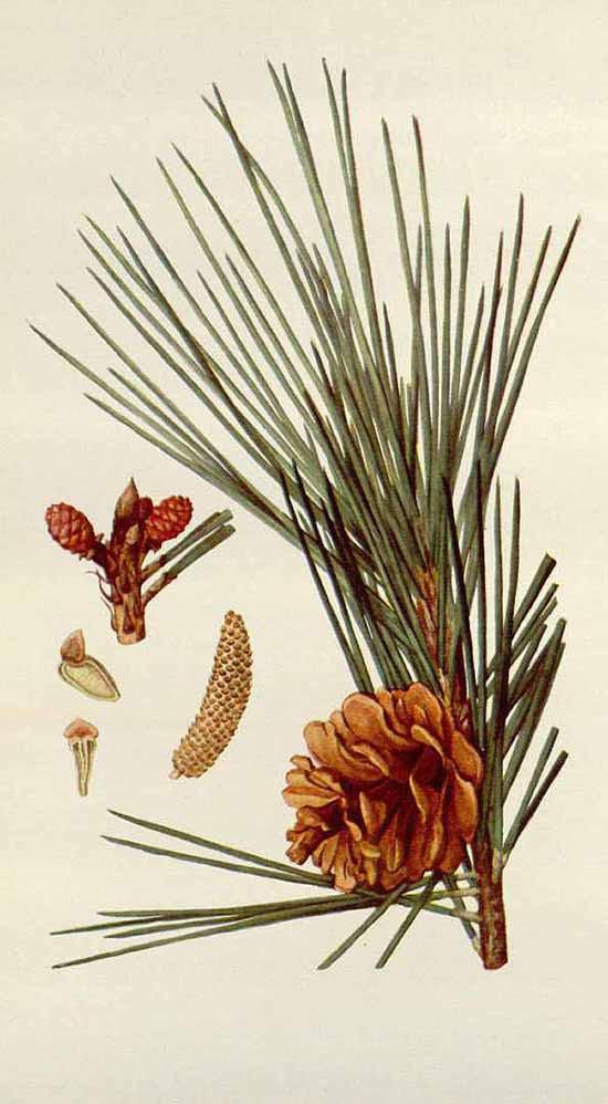 Сосна Тунберга (Pinus Thunbergii)